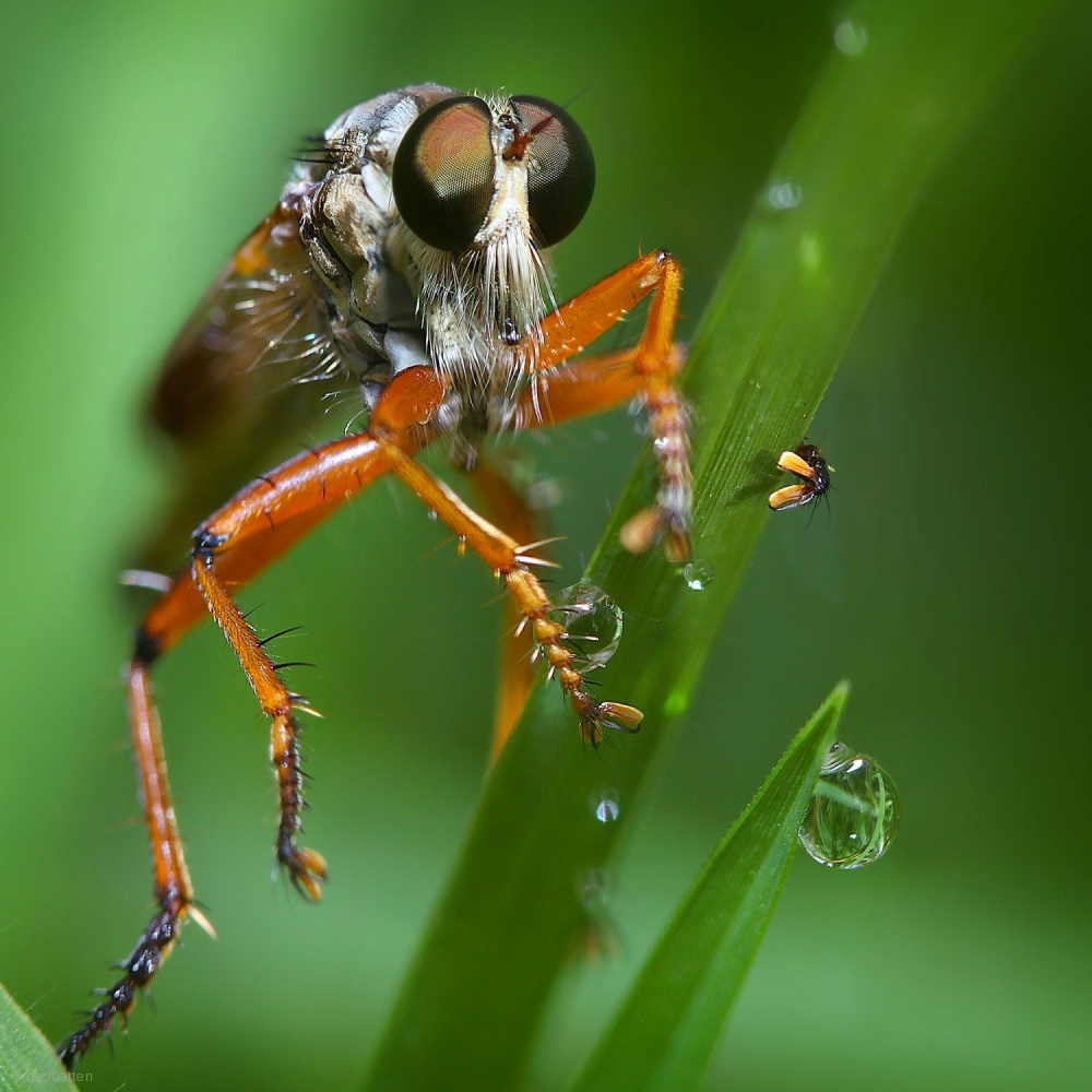 ROBBER FLY WITH DEWDROPS