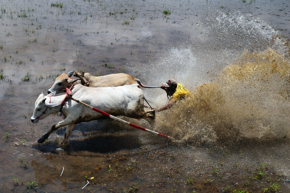 Pacu Jawi (Cow\'s Race)