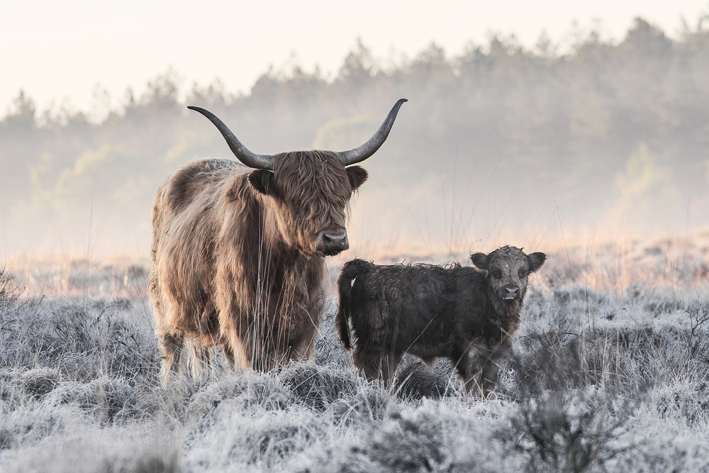 View this piece of fine art photography titled Highlander and Calf by Alex Li