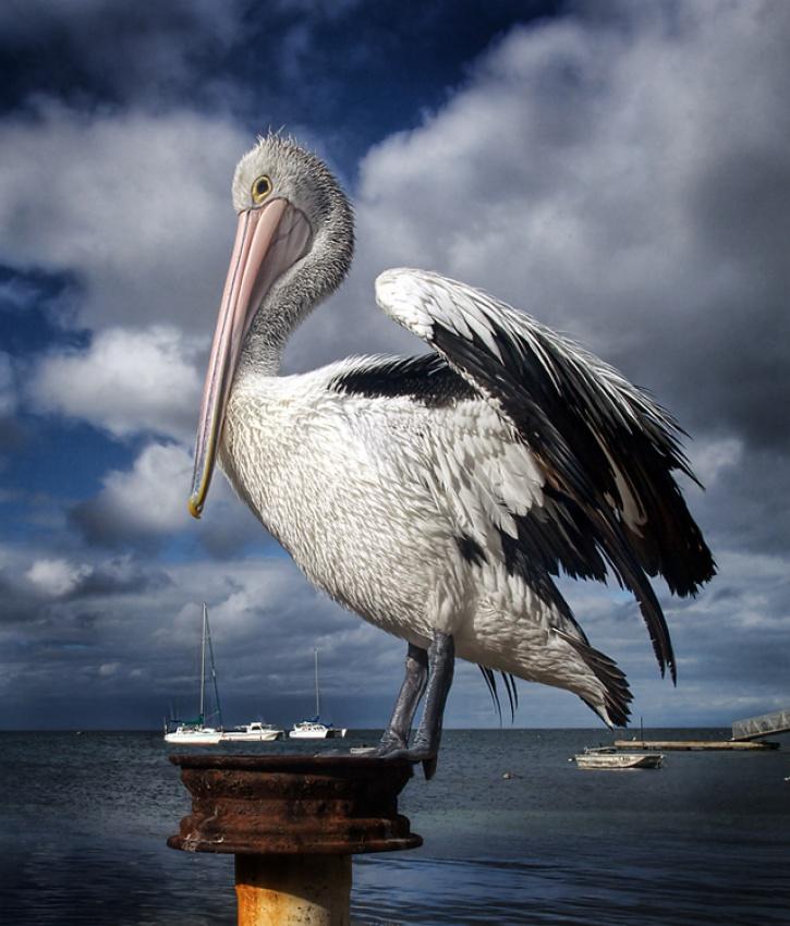 A piece of fine art art photography titled Australian Pelican by dougi