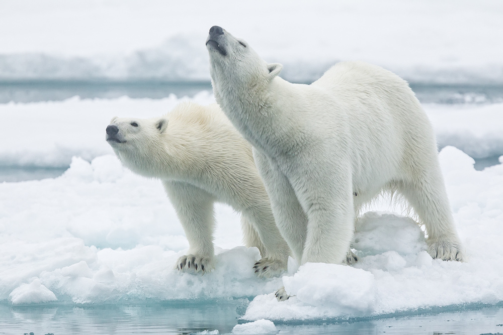 A piece of fine art art photography titled Polar Bears, Mother and Son by Joan Gil Raga