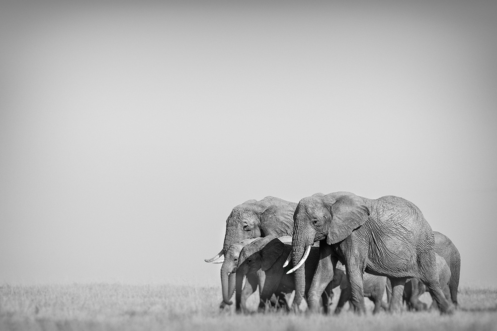 A piece of fine art art photography titled We Walk As One, Masai Mara by Pekka Järventaus