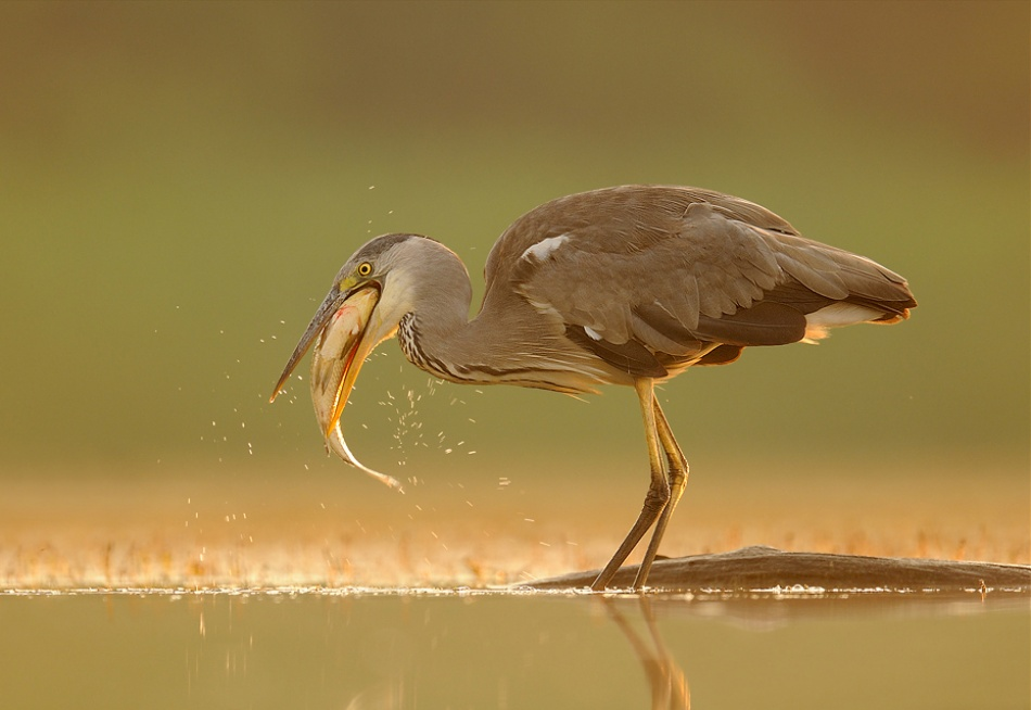 A piece of fine art art photography titled Grey Heron by Brian Scott
