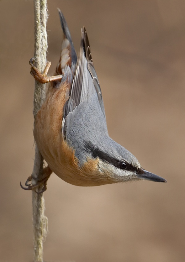 A piece of fine art art photography titled Nuthatch On a Wire by Hans Van Rafelghem