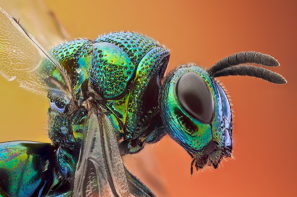 A piece of fine art art photography titled Cucko Wasp 7:1 by Javier Torrent