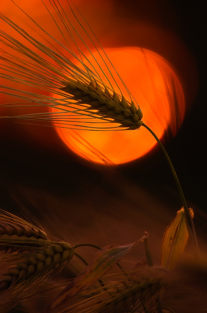 A piece of fine art art photography titled Sunset Barleys by Joni Niemelä