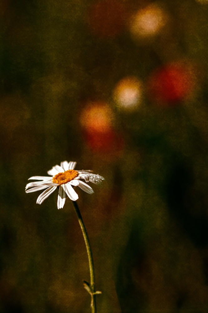 A piece of fine art art photography titled Daisy, Daisy by John Mobbs