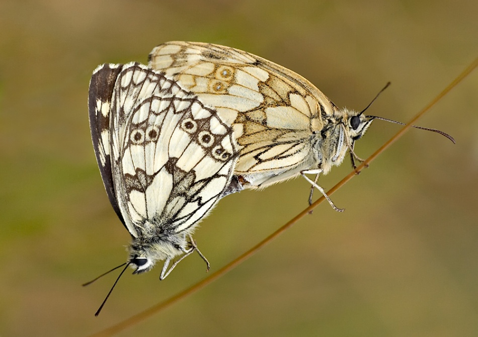 A piece of fine art art photography titled Marbled Whites Mating by Hans Van Rafelghem
