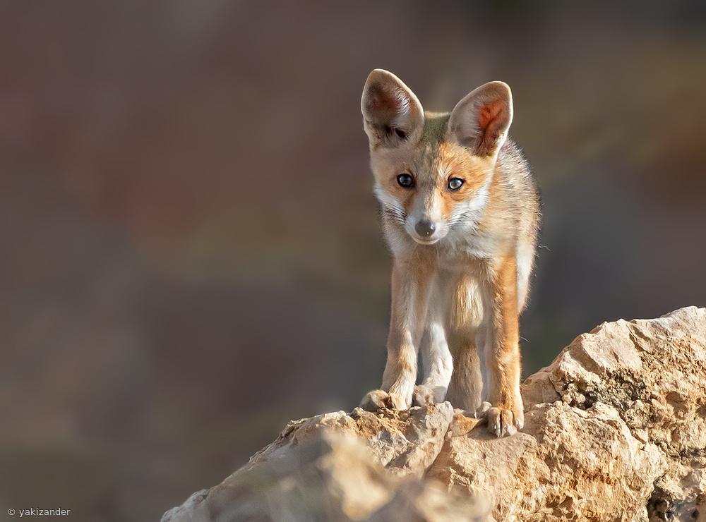Sweet fox cub ...