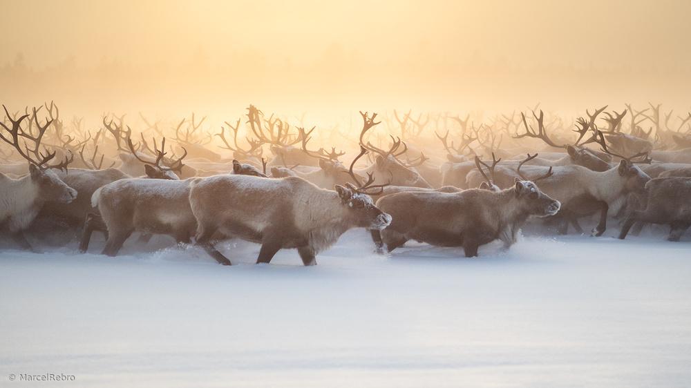 The herd III