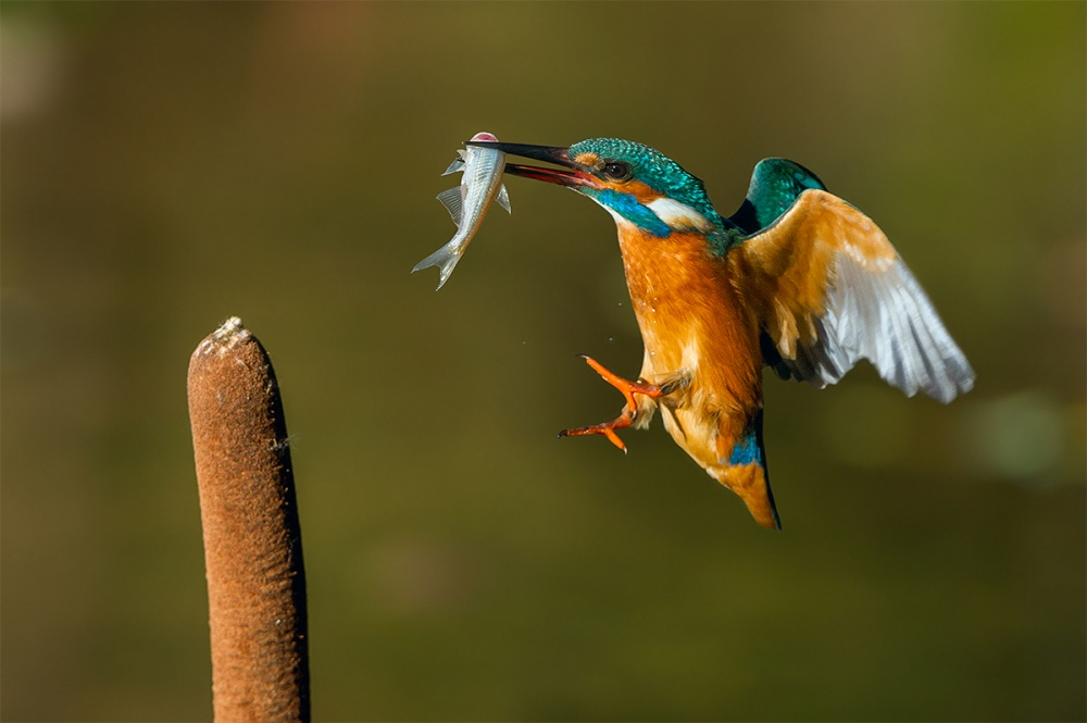 A piece of fine art art photography titled Kingfisher by Jacopo Rigotti