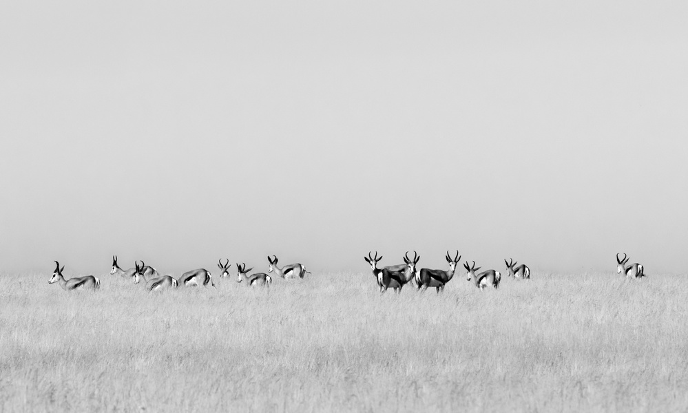 A piece of fine art art photography titled Sentinel Gazelles by Mathilde Guillemot