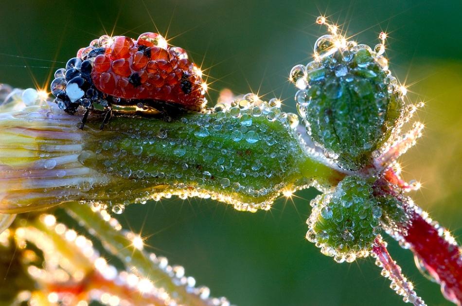 A piece of fine art art photography titled Ladybug In Dew by Jens Kolk