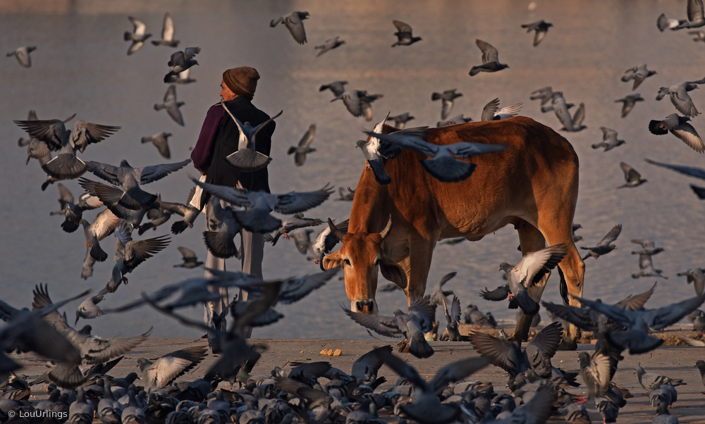 View this piece of fine art photography titled The pilgrim and a curious cow by Peter Pfeiffer