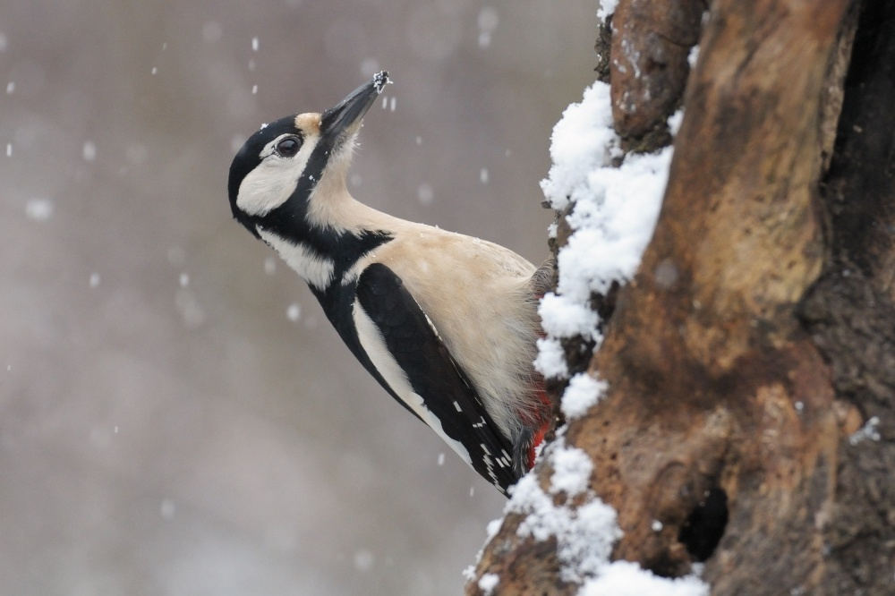 great spotted woodpecker and first snow