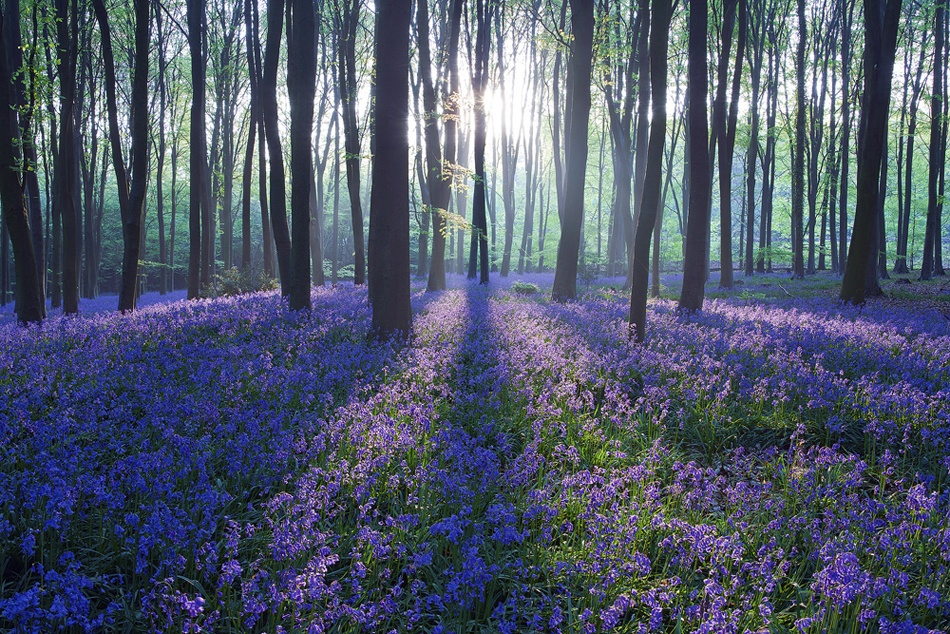 A piece of fine art art photography titled Bluebell Sunrise by Antony Spencer