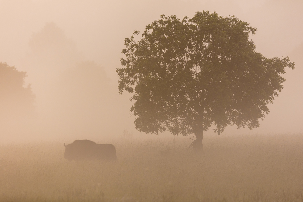 A piece of fine art art photography titled European Bison by AiToR Badiola