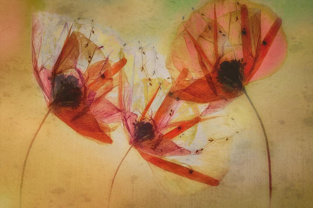 A piece of fine art art photography titled Poppy Seeds by Nel Talen