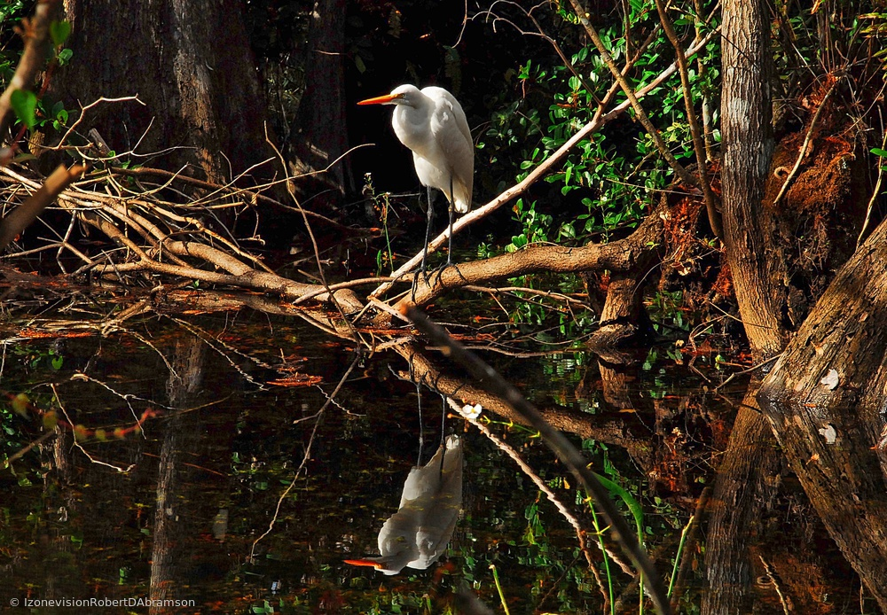 Egret in Everglades
