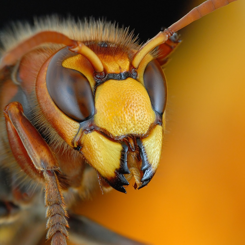 A piece of fine art art photography titled Portrait of Hornet by Mikesi