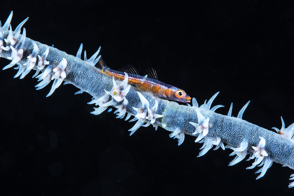Whip coral  and its goby of the mesophotic zone