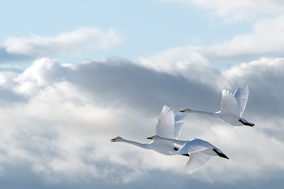 A piece of fine art art photography titled Swans In the Sky by Anne Ueland