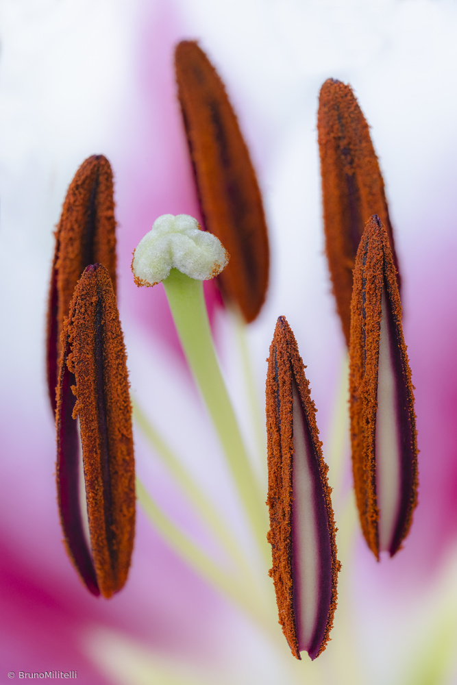 Lily pistils