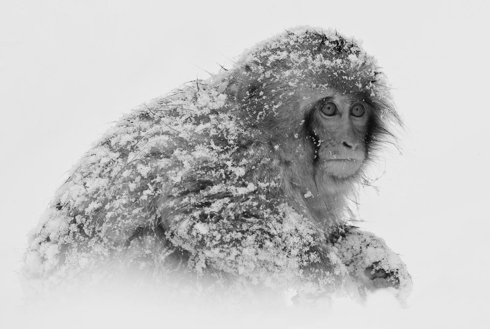 A piece of fine art art photography titled Snow Monkey by C.S. Tjandra