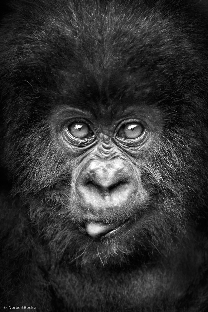 Portrait of a young Mountain Gorilla