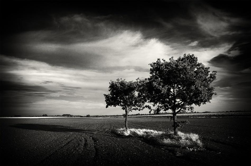 Oaks on cultivated fields