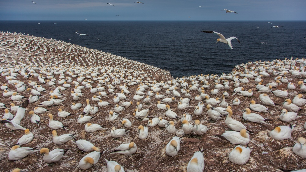 Gannet colony on Bonaventure Island