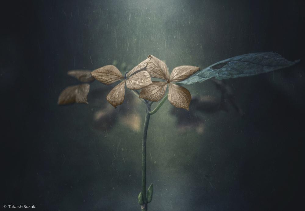 Withe hydrangea