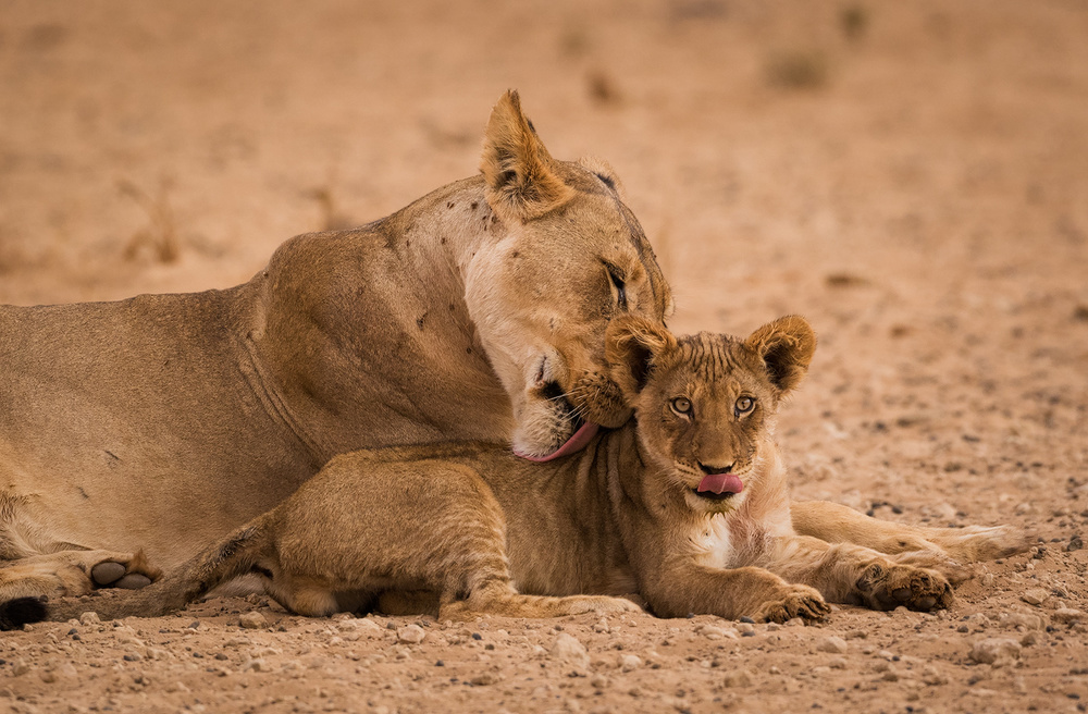 Grooming Lioness and Cub