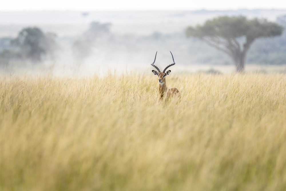 A piece of fine art art photography titled Sweet and Lovely Impala In Masai Mara by Lucie Bressy