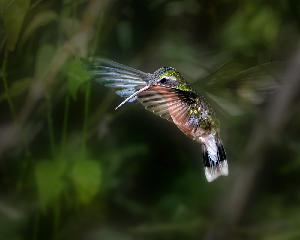 A piece of fine art art photography titled Hummingbird 1B by Leigh Pelton