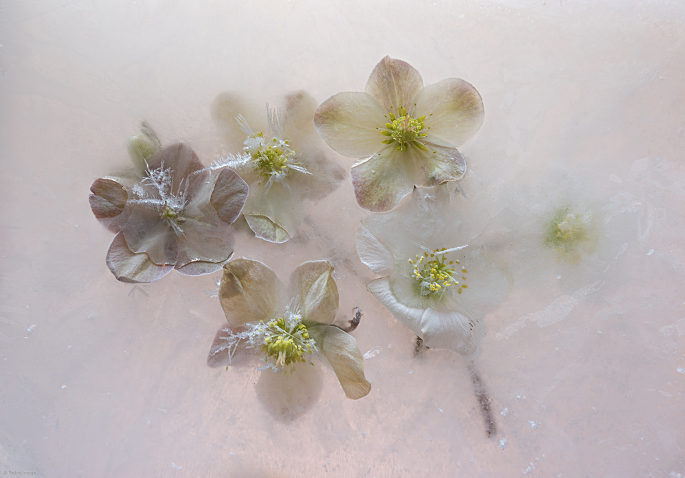 View this piece of fine art photography titled Blooming in cold. by Pedro Uranga