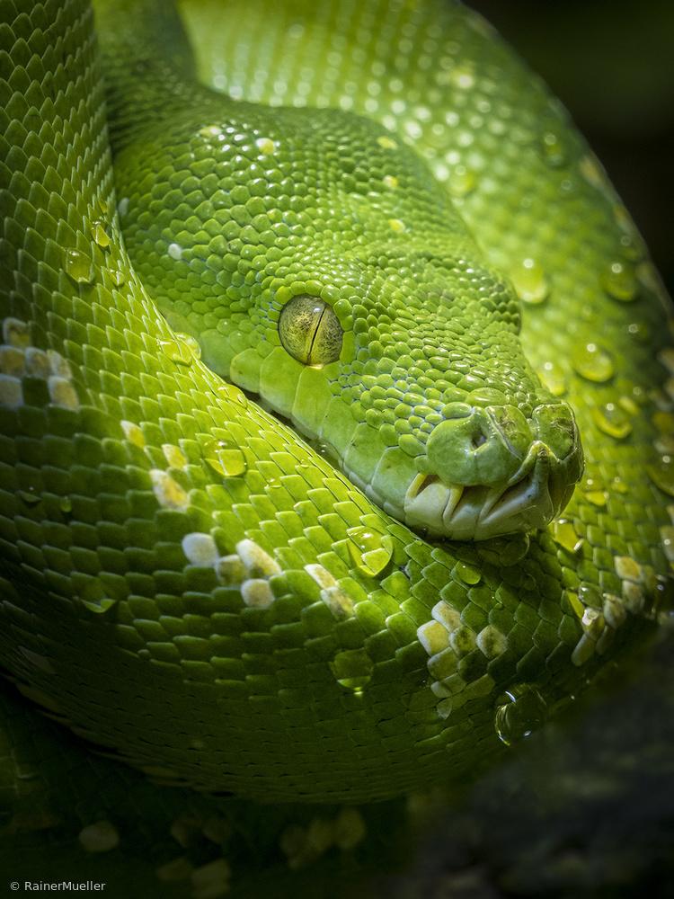 Tree Python II