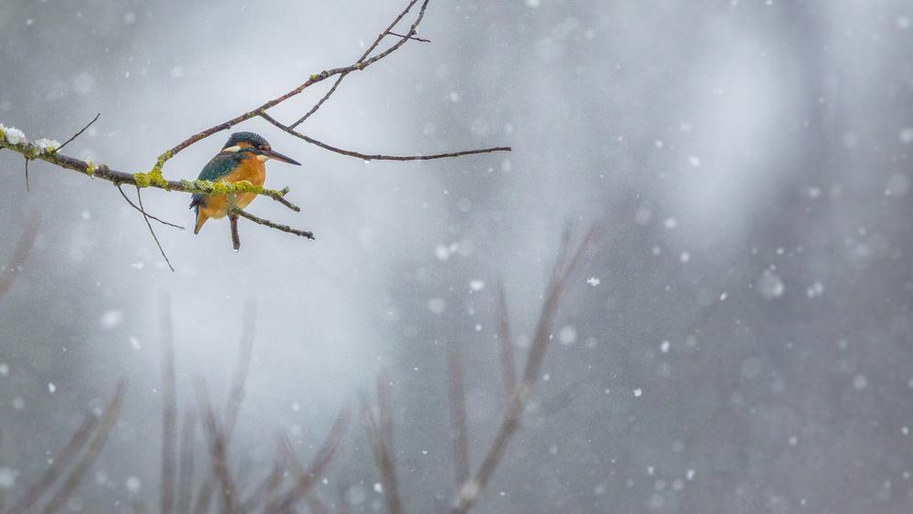 A piece of fine art art photography titled Eisvogel Im Schnee by Herbert Blank