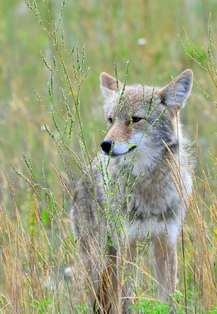 The clever coyote