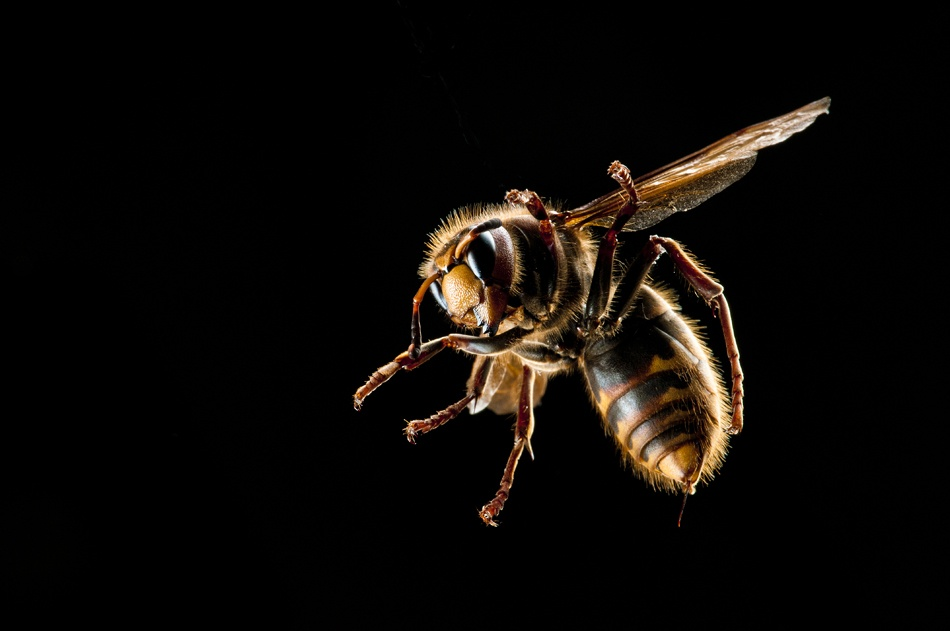 A piece of fine art art photography titled Hornet Action by Kristoffer Jonsson