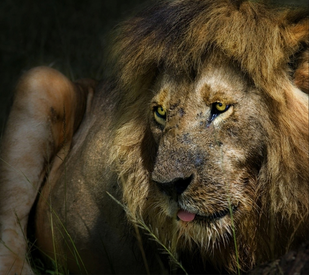 A piece of fine art art photography titled The Lion by Piet Flour