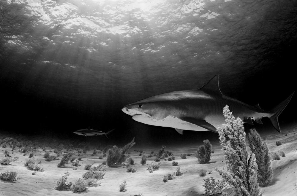 A piece of fine art art photography titled Dark Tiger by Ken Kiefer