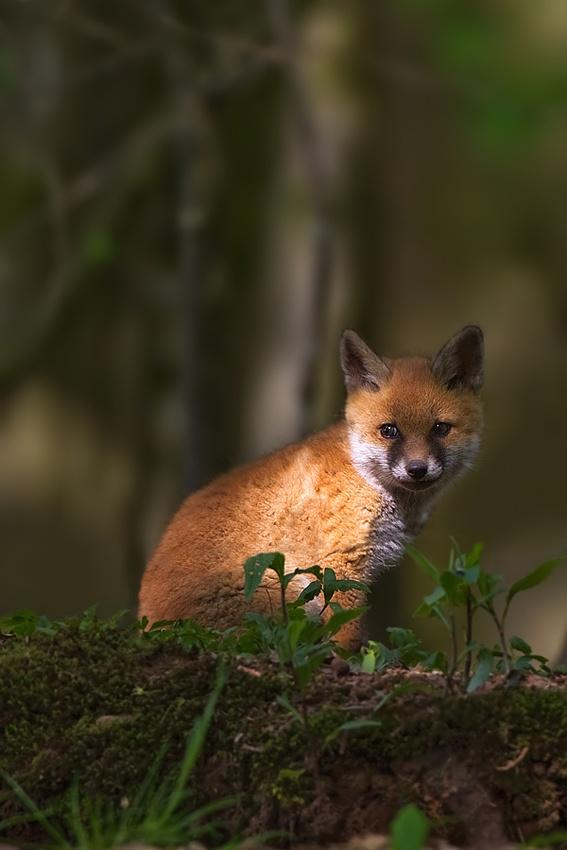My last little fox