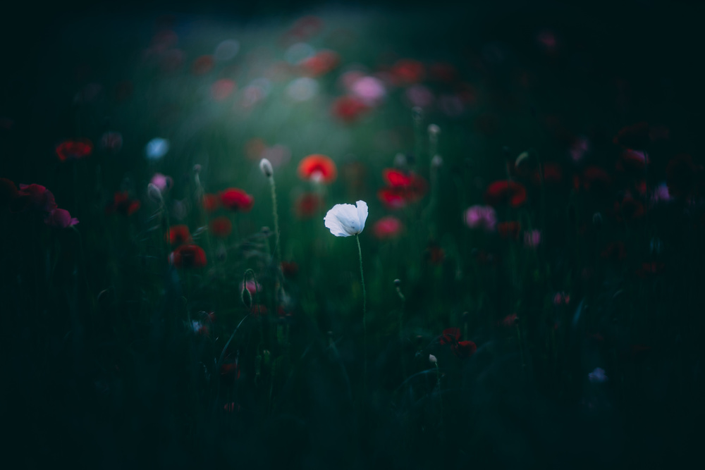 A piece of fine art art photography titled Poppy by Yuki Yatsushima