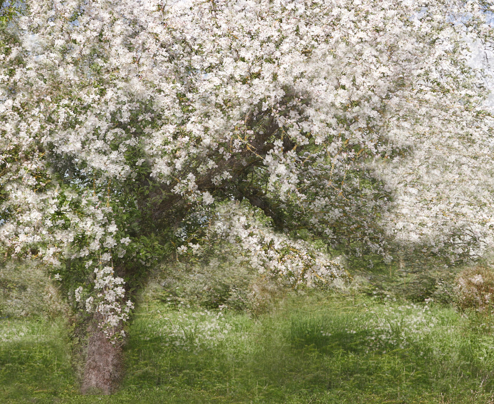 A piece of fine art art photography titled Apple Tree by Jutta Kerber