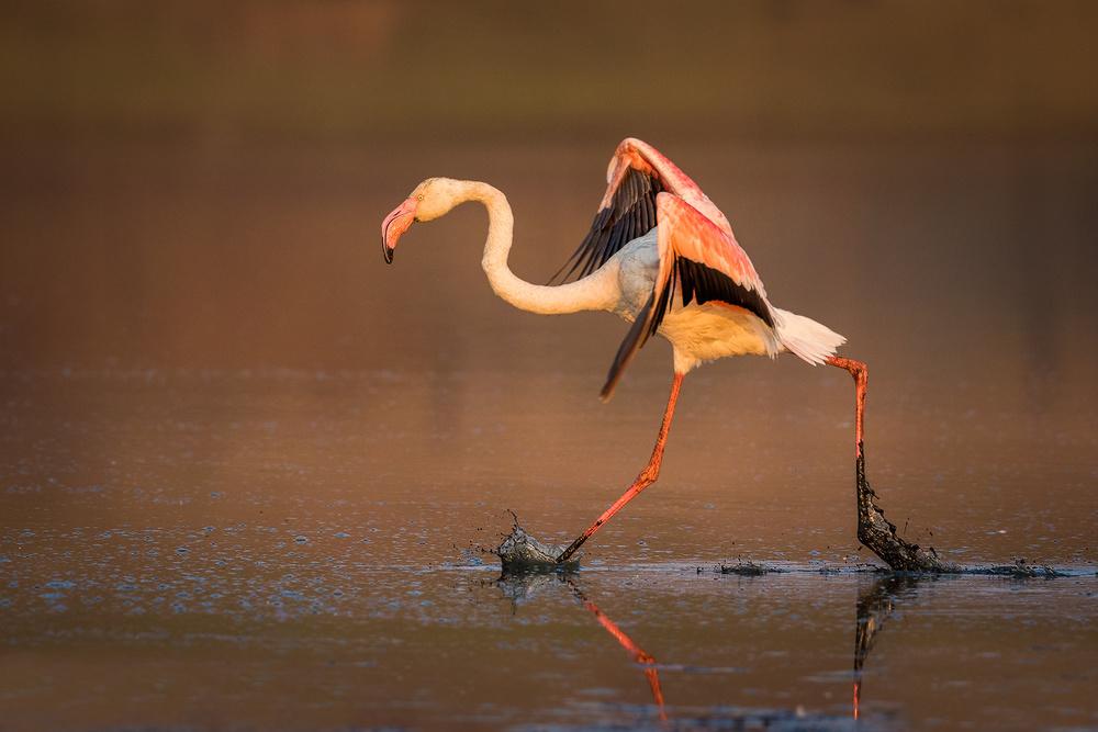 Running Flamingo