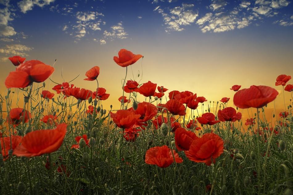 A piece of fine art art photography titled Poppies by Albena Markova