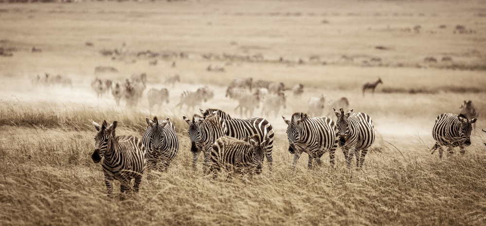 View this piece of fine art photography titled Zebra plain by Petr Simon