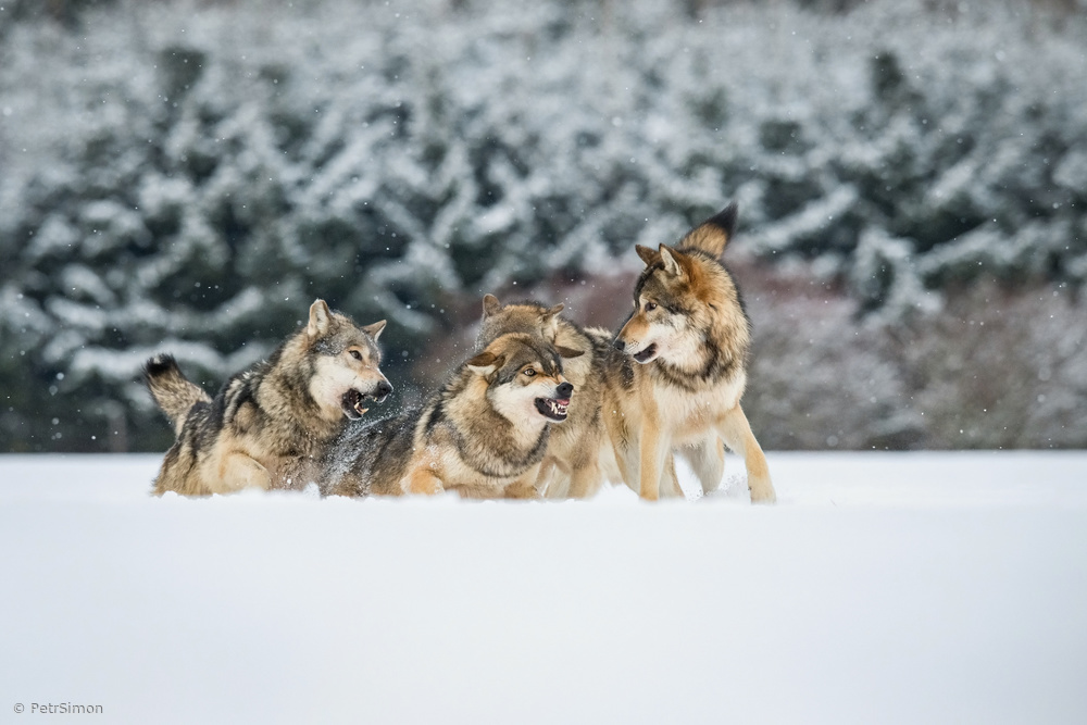 Wolves discuss, Canis lupus, confusion in the pack