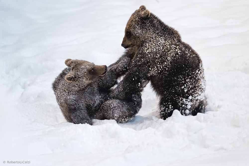 Little Brown Bears playing